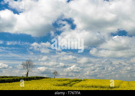 Rapeseed oil field near Broadway in the Cotswolds on a bright and sunny Spring day in May. - Stock Image