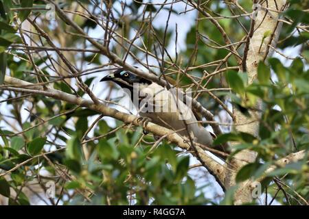 An Australian, Queensland Blue-faced Honeyeater ( Entomyzon cyanosis ) peering through branches - Stock Image