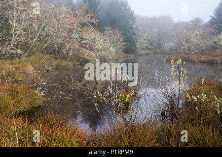 Willows bloom at the wetlands on the Oregon Coast; Hammond, Oregon, United States of America - Stock Image