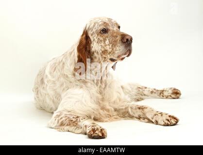 English Setter dog on white background - Stock Image