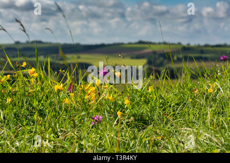 Wild flowers on Lincolnshire wolds - Stock Image