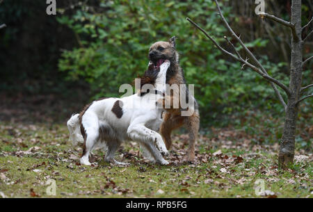 Two young dogs English springer spaniel and terrier play fighting over toys in the garden. Although aggressive with teeth showing no harm is shown. - Stock Image