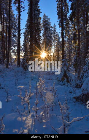 The low golden winter sun is shining through the snow-covered trees in a softwood forest. - Stock Image