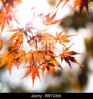 Back-Lit Orange Japanese Maple Tree Leaves - Stock Image