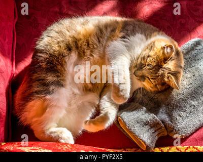 Tortoise-shell cat asleep on hot-water bottle. - Stock Image