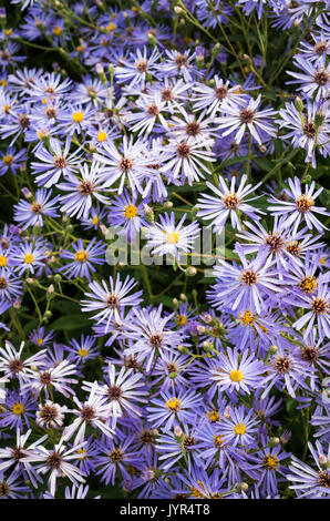 Densely planted purple lilac Dieteria bigelovii flowers in a garden in Summer - Stock Image