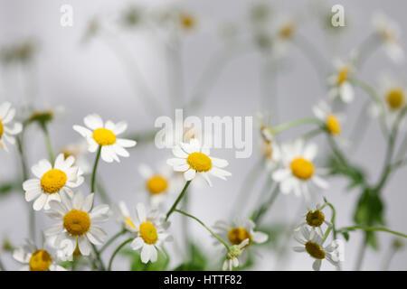 tanacetum parthenium - feverfew, single vegmo variety, Summer daisy-like flowers, medicinal herb Jane Ann Butler - Stock Image