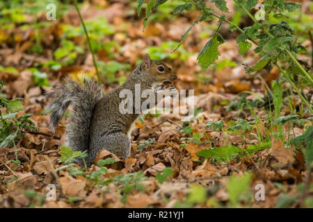 A Grey Squirrel is busy collecting and feeding on acorns surrounded by fallen leaves. Barnett Demesne, Belfast. - Stock Image