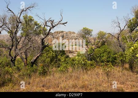 Tapia Trees, Uapaca bojeri, Phyllanthaceae (Euphorbiaceae). Isalo National Park, Ranohira, Madagascar, Africa. - Stock Image