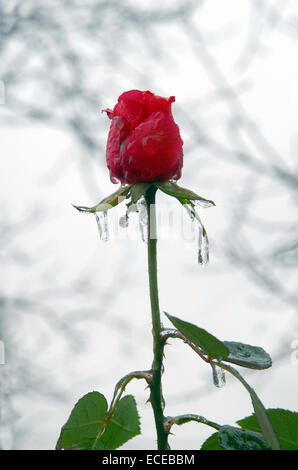 Rain in very cold and a rose froze. - Stock Image