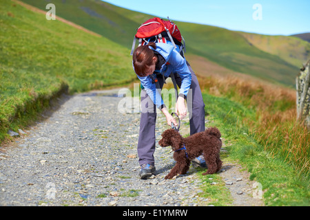 A female hiker attaching a lead to a dogs harness, collar in the Lake District in the UK. - Stock Image