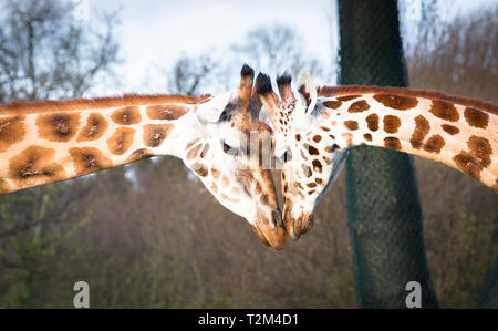 A pair of Rothchild's giraffes (Giraffa camelopardalis rothschildi) touch their heads together. - Stock Image