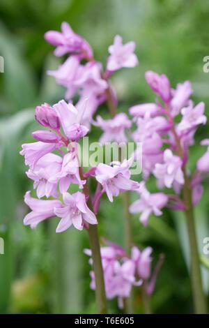 Hyacinthoides hispanica. Pink Spanish bluebells. - Stock Image