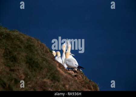 Small colony of Gannets Morus bassanus on a grassy cliff ledge overlooking the sea at Bempton Cliffs East Yorkshire U.K. - Stock Image