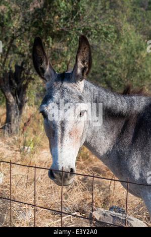 Donkey behind metal fence, Limnos, Greece - Stock Image