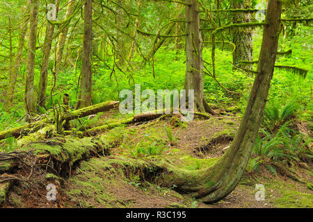 Canada, British Columbia. Rainforest in Cliff Gilker Park. - Stock Image