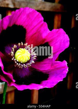 Poppy Flower - Stock Image