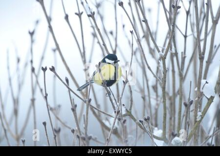 Great tit, Parus major, on a twig winter, Upper Palatinate, Bavaria, Germany, Europe - Stock Image