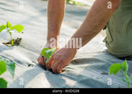 Farmer planting crops - Stock Image