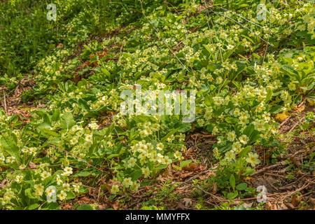 A closeup of a carpet of wild primroses Primula Vulgaris in a woodland setting in dappled shade - Stock Image