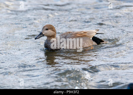 Gadwall (Anas strepera). Moscow, Russia. - Stock Image