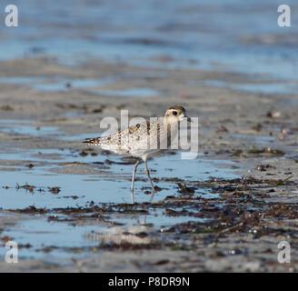 Pacific Golden Plover (Pluvialis fulva) wading on the shoreline, Chilli Beach, Cape York Peninsula, Far North Queensland, FNQ, Australia - Stock Image