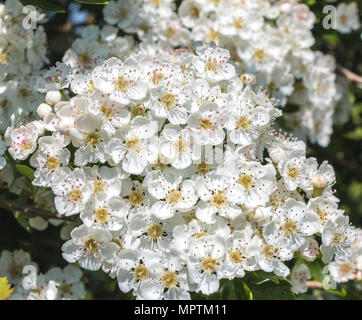 A cluster of fully open Hawthorn (Crataegus monogyna) flowers in sunshine - Stock Image