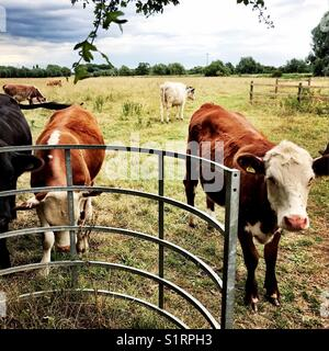 Cows at stile - Stock Image