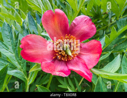 Red Tree Peony, a large flower from the genus Paeonia, growing in Spring (May) in West Sussex, England, UK. - Stock Image