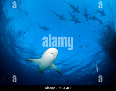 Caribbean Reef Shark (Carcharhinus perezi) from Underneath, with Plenty of Lemon Sharks (Negaprion brevirostris) at the Surface. Tiger Beach, Bahamas - Stock Image