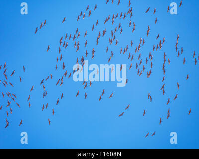 Illinois, USA. 23rd March 2019. A large flock of sandhill cranes (Antigone canadensis) migrates over this forest preserve southwest of Chicago. The birds' distintive call could be heard throughout the day as well. Credit: Todd Bannor/Alamy Live News - Stock Image