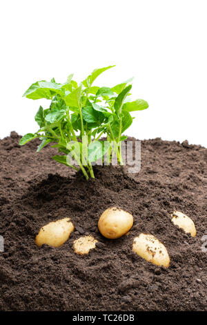 Potato  sprouts with baby bulbs in soil isolated on white. Concept of huge harvest. - Stock Image