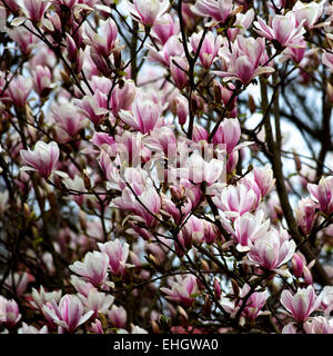 Magnolia blossoms in bloom - Stock Image