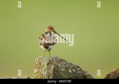 Common snipe, Latin name Gallinago gallinago, standing on a stone wall, rear view with head turned showing plumage details and length of beak. - Stock Image
