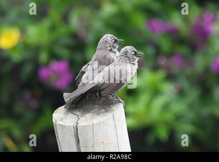 A pair of black-lored babbler or Sharpe's pied-babbler (Turdoides sharpei) display and call, asserting themselves with their colleagues.  Kihihi, Kanu - Stock Image