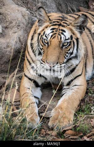 Close-up portrait of a two year old male Bengal Tiger, Panthera tigris tigris, Bandhavgarh Tiger Reserve, Madhya Pradesh, India - Stock Image