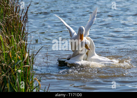 Three male white Pekin Ducks trying to mate with a single female - Stock Image