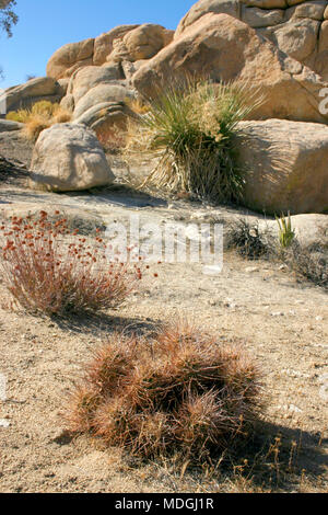 Cacti Echinocreus, Mojave Desert Joshua Tree National Park California - Stock Image