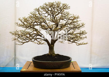 bonsai tree isolated on white background. Japanese TRAY PLANTING or JAPANESE ART. nature concept - Stock Image