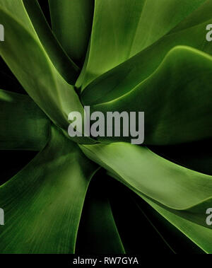 Green Succulent Leaves, Close-Up - Stock Image