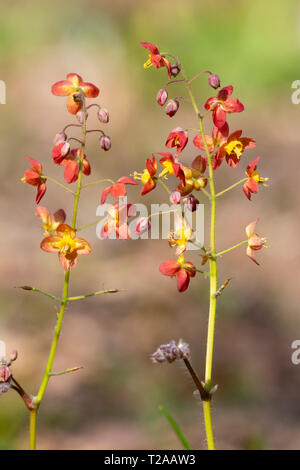 Copper coloured early spring flowers of the perennial barrenwort, Epimedium x warleyense - Stock Image
