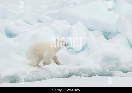 Cute Polar Bear Cub, Ursus maritimus, running on the Olgastretet Pack Ice, Svalbard Archipelago, Norway - Stock Image