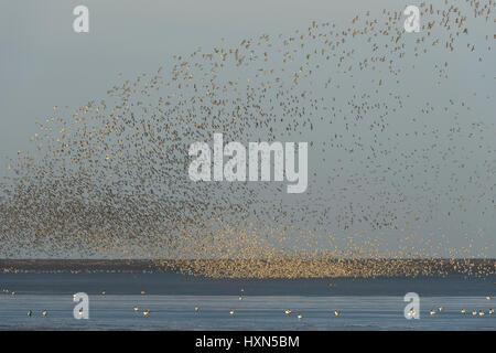 Pre-roost gathering of red knot (Calidris canutus) on foreshore at Snettisham RSPB reserve, Norfolk, England. November. - Stock Image