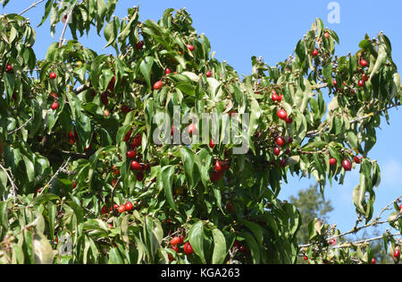 Fruits of Cornelian cherry, European cornel or Cornelian cherry dogwood (Cornus mas) are used in food and drinks - Stock Image