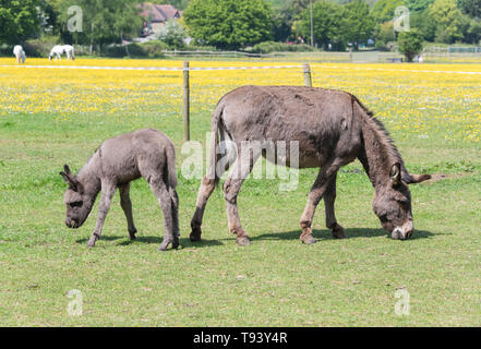 Female donkey with foal Equus asinus - Stock Image
