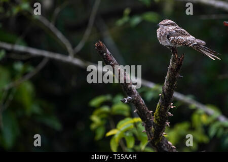 Ladder-Tailed Nightjar, Hydropsalis climacocerca - Stock Image