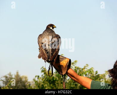 falconer with hawk on the left hand - Stock Image