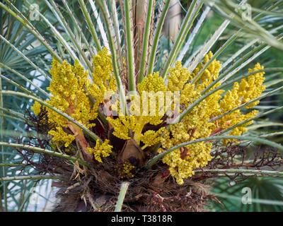 Chamaerops Humilis Cerifera - Blue mediterranean fan palm. Parque de La Paloma. Benalmádena, Málaga, Spain. - Stock Image