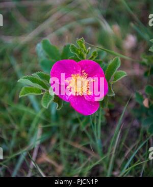 Bright Pink Flower Petals Alongside Prairie Trail - Stock Image
