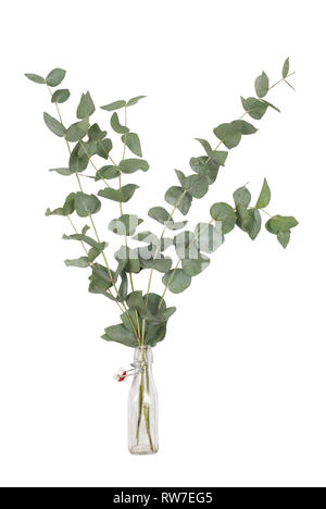 bouquet of eucalyptus cinerea, silver dollar, twigs and branches in glass swing top bottle, isolated on white background - Stock Image